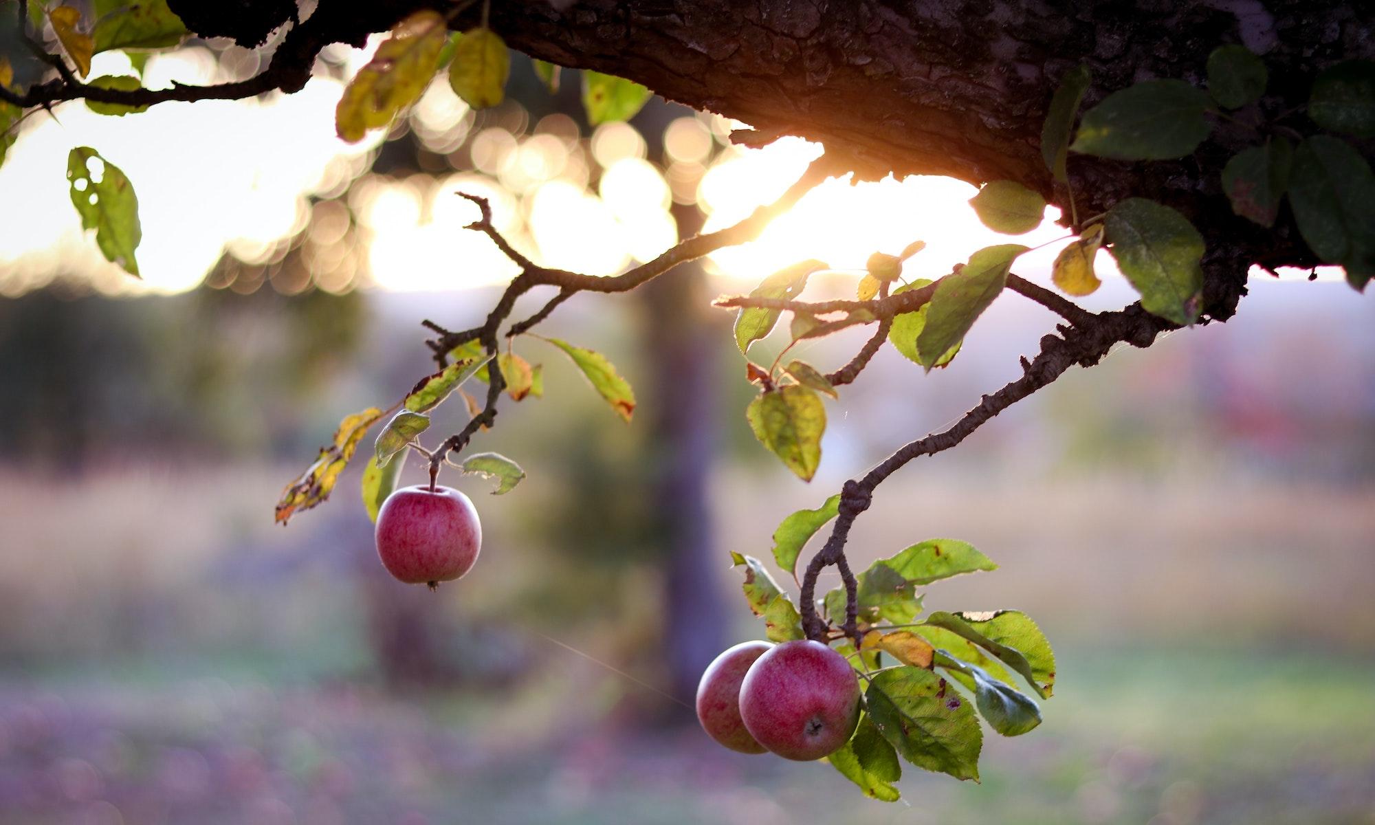 Gerçeği gören Elma Çekirdeği